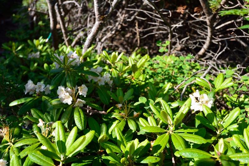 北アルプスの花 (50)