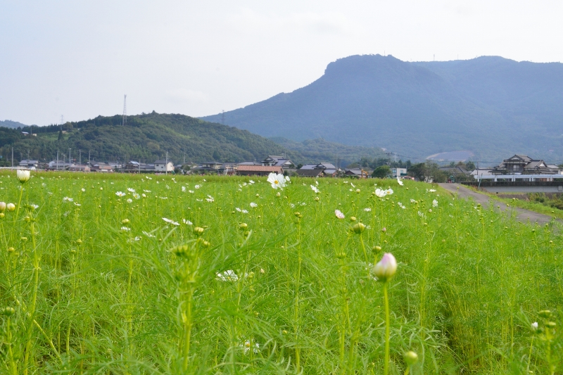 三光村コスモス園 (6)
