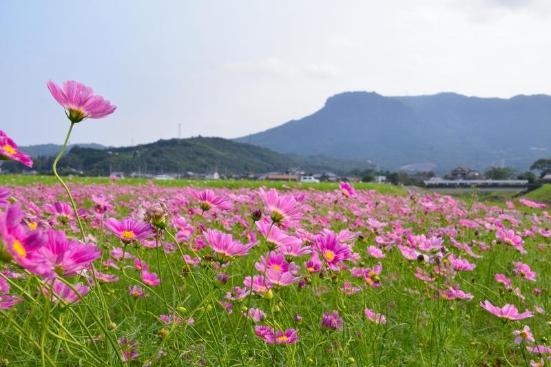 三光村コスモス園 (5)