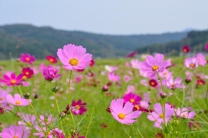 三光村コスモス園 (3)