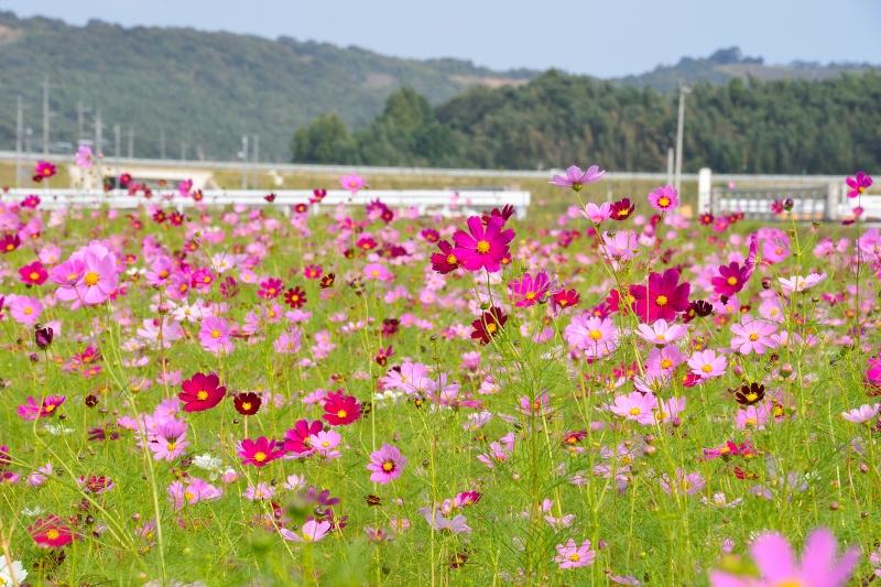 三光村コスモス園 (2)