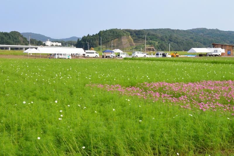 三光村コスモス園 (11)