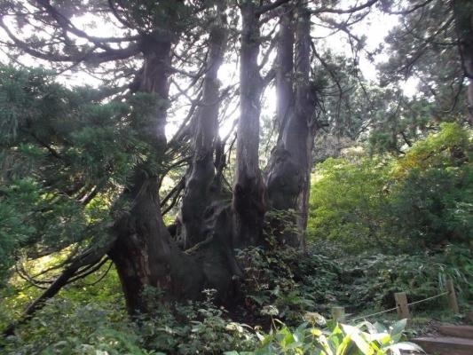 4、 大黒杉