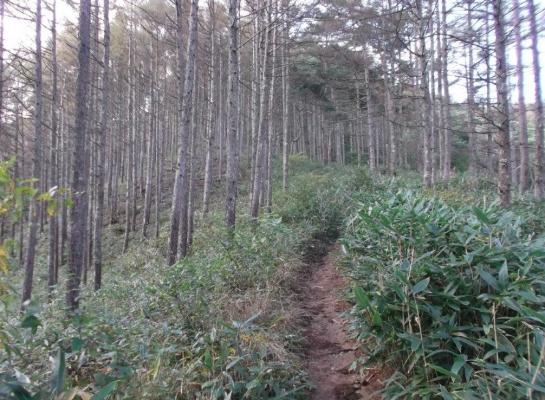 明るいカラマツ林を歩く