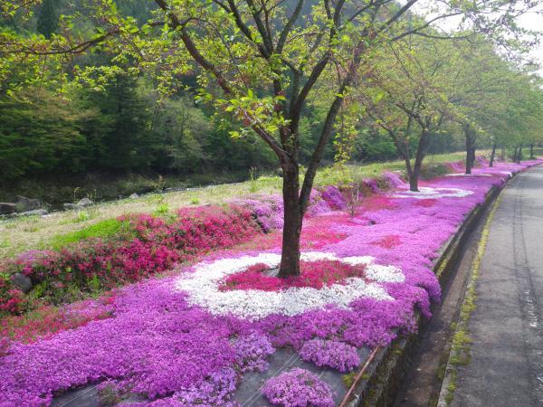 川沿いの芝桜
