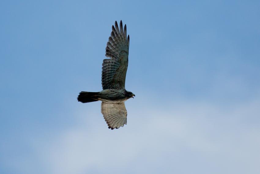 161016サシバ幼鳥2