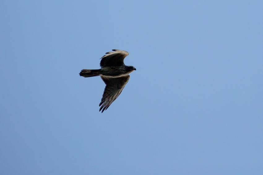 161016サシバ幼鳥1