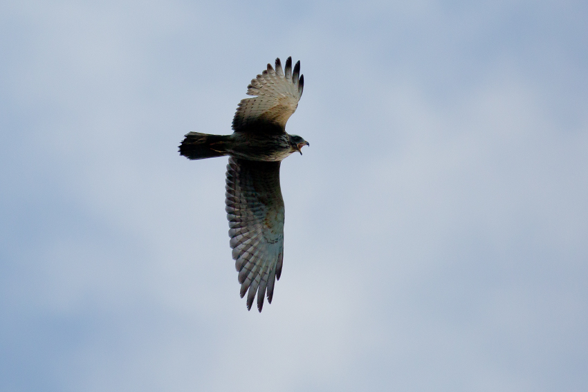161016サシバ幼鳥3
