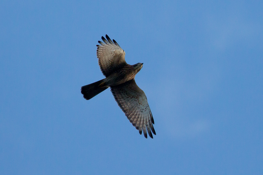 161016サシバ幼鳥4