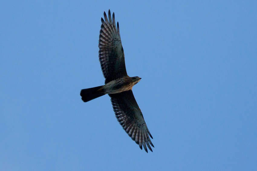 161016サシバ幼鳥5