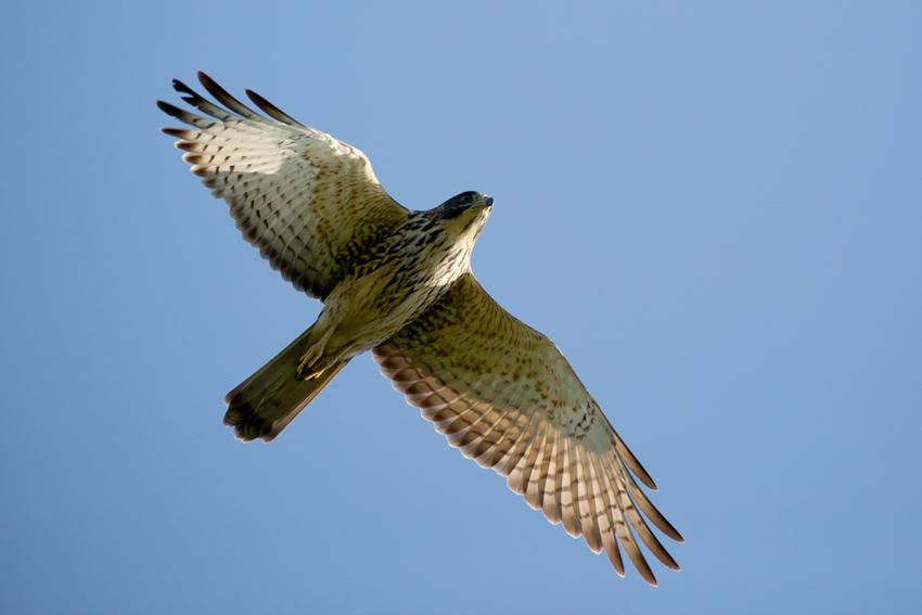 161026サシバ幼鳥7