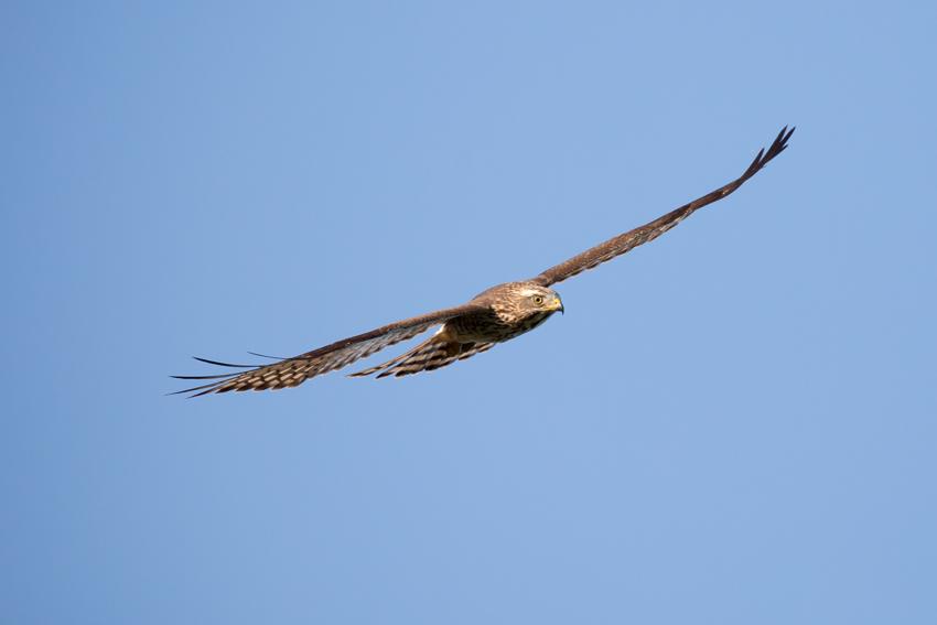 161026サシバ幼鳥1