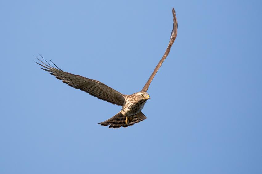 161026サシバ幼鳥2