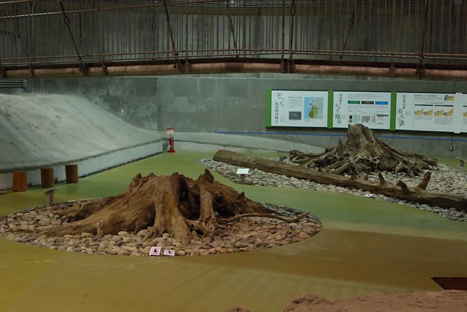 20160918埋没林の切り株
