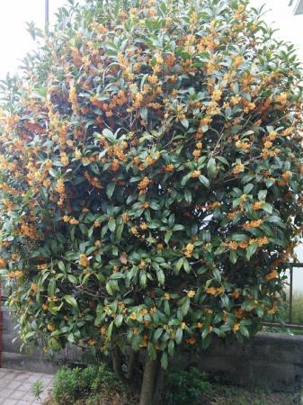2016金木犀の木