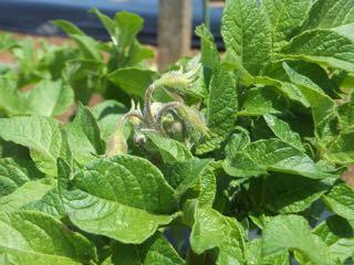 ジャガイモ 花芽