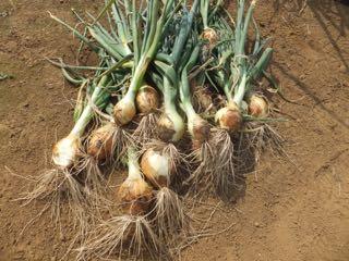 タマネギ収穫