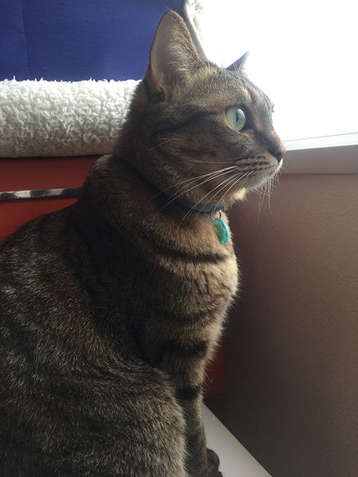 2015年11月22日撮影のキジトラ猫クーちゃん