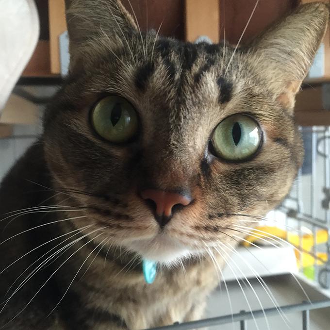 2015年11月23日撮影のキジトラ猫クーちゃん 1