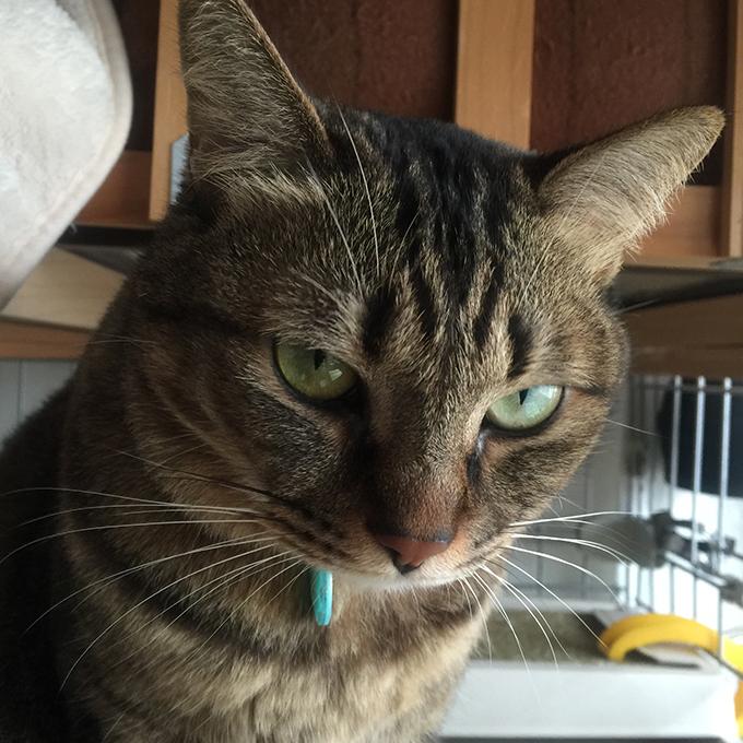 2015年11月23日撮影のキジトラ猫クーちゃん 6