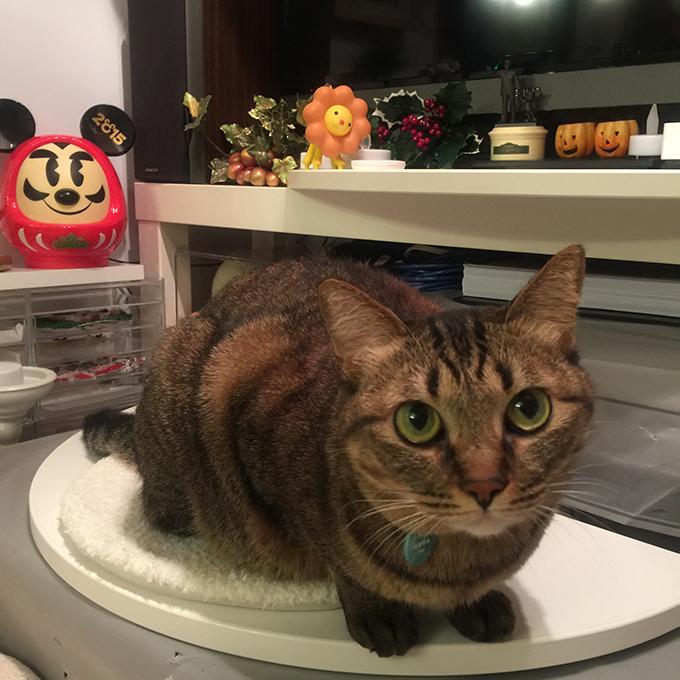 2015年11月23日撮影のキジトラ猫クーちゃん4