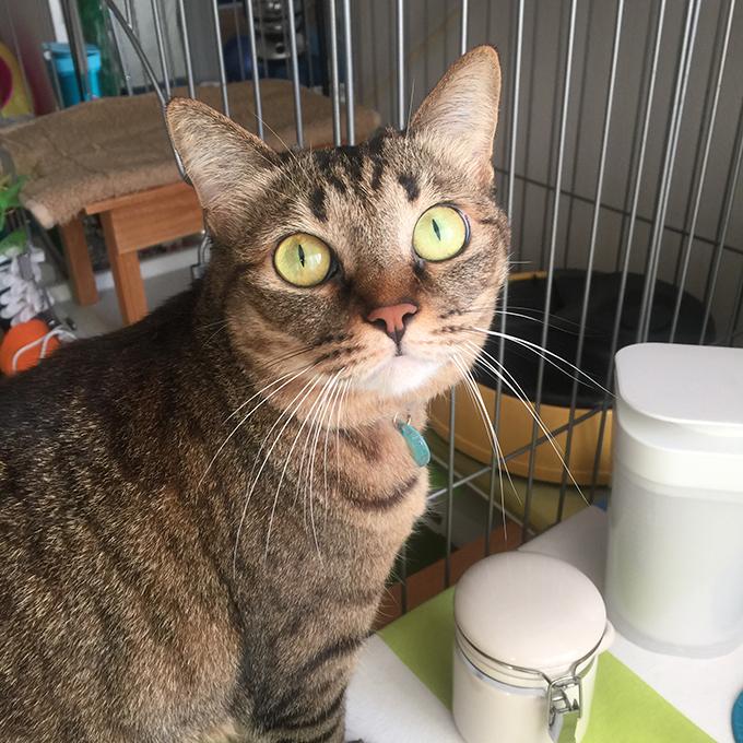 2015年11月24日撮影のキジトラ猫クーちゃん1
