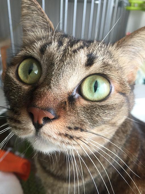 2015年11月24日撮影のキジトラ猫クーちゃん3