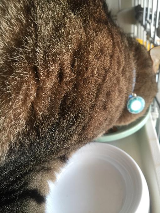 2015年11月24日撮影のキジトラ猫クーちゃん8