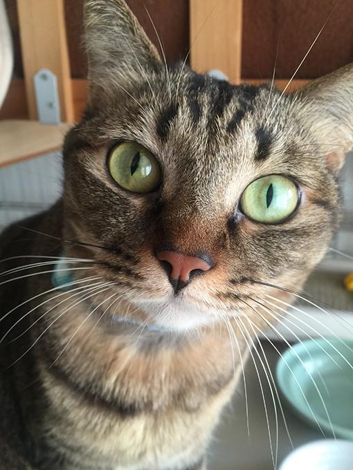 2015年11月24日撮影のキジトラ猫クーちゃん7