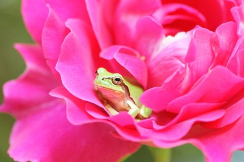 20160515薔薇とかえる5