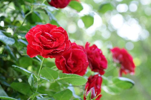 20160515薔薇赤3