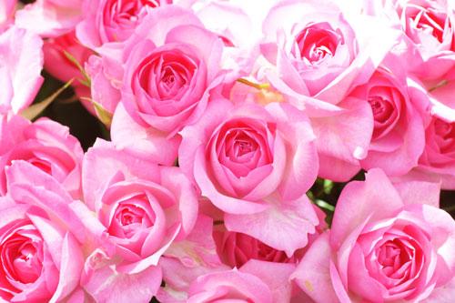 20160515薔薇バラばら2