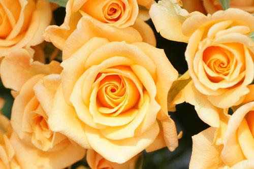20160515薔薇バラばら3
