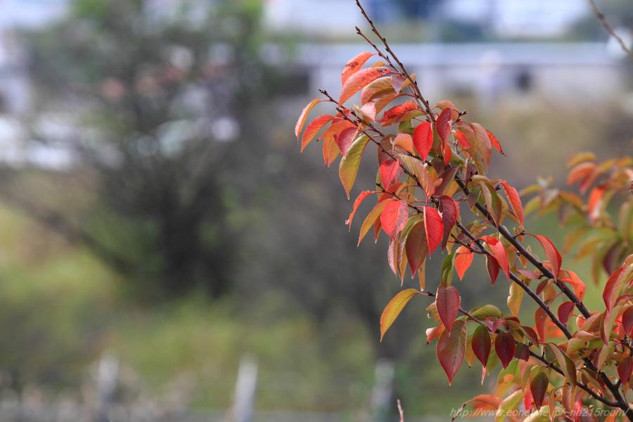 桜の紅葉@下河原緑地展望デッキ