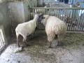 毛刈り前後の2頭