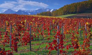 葡萄畑も紅葉