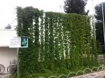 160710 (18)サントリー京都ビール工場_ホップ全景