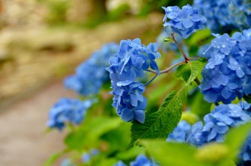 紫陽花 (3)