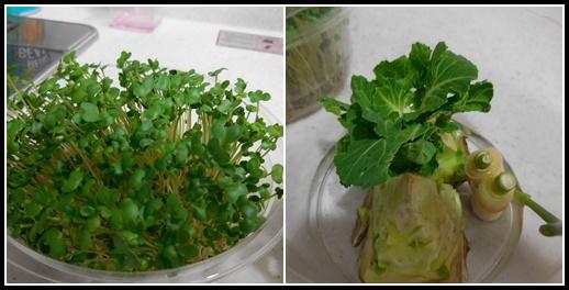 ブロッコリースプラウトと再生野菜