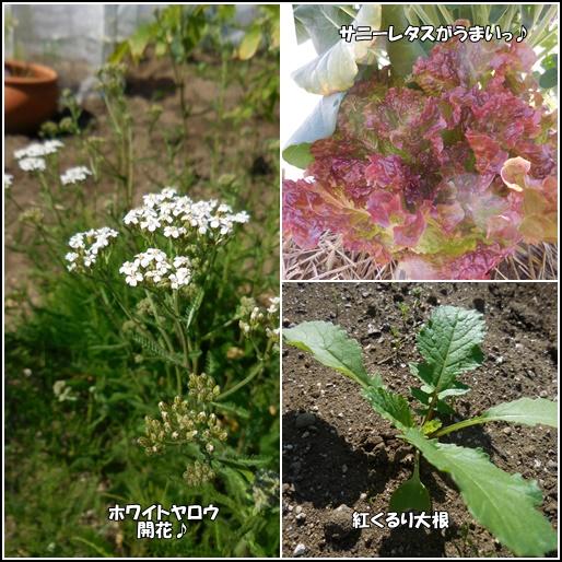 庭の畑 6月3日