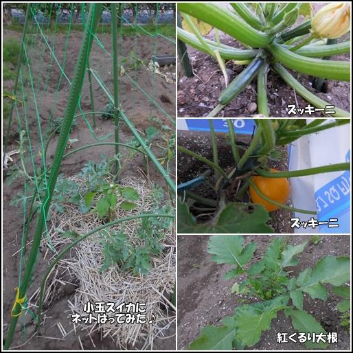 庭野菜6月11日
