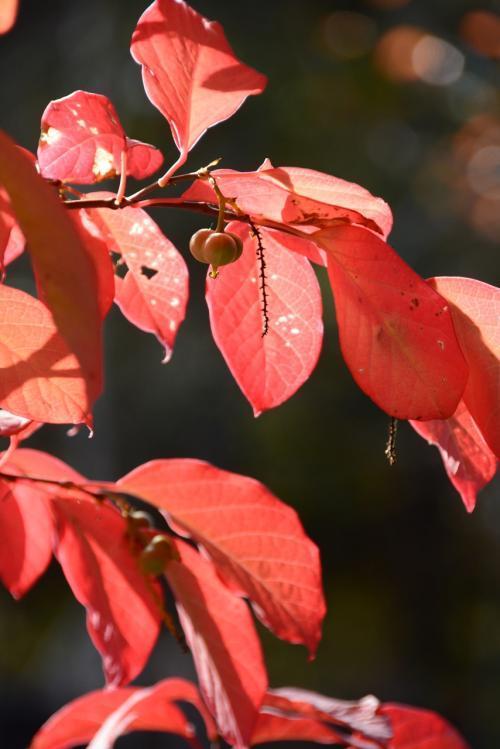薪作業1103_白木の紅葉赤い