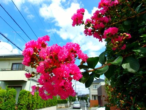 通りすがりに見かけたサルスベリの花