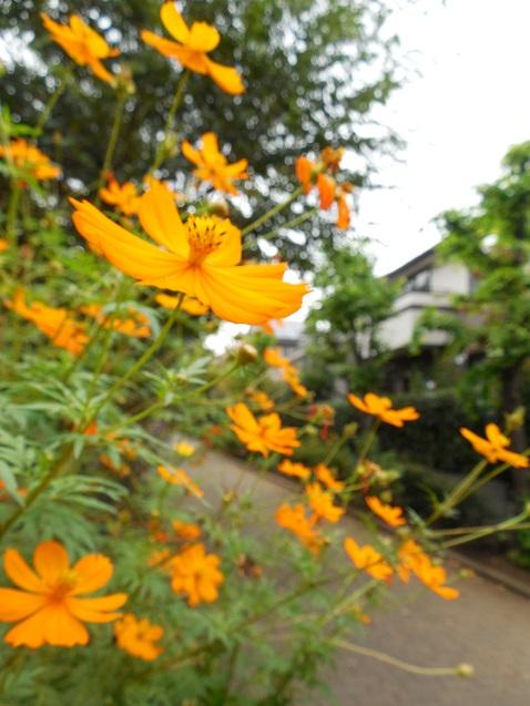通りすがりに見かけたキバナコスモス
