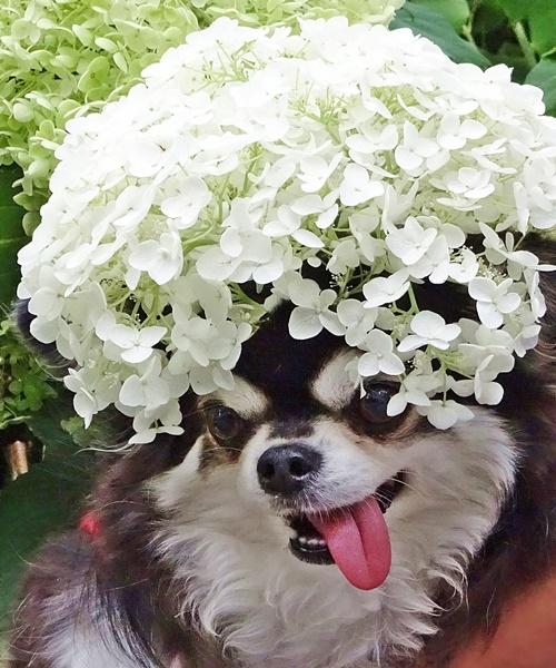紫陽花アフロ