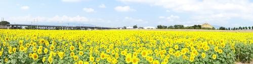 大垣市ヒマワリ畑