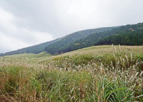 仙石原のススキ