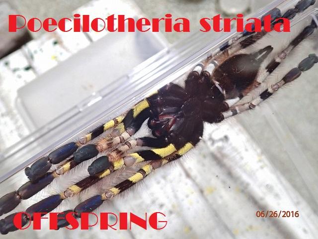 Poecilotheria striata004