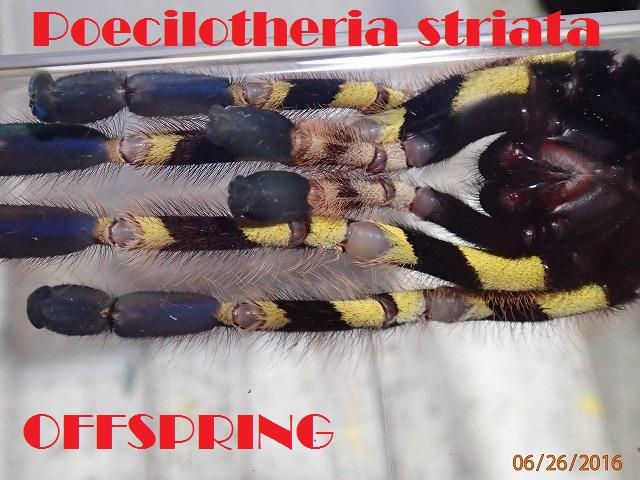 Poecilotheria striata003