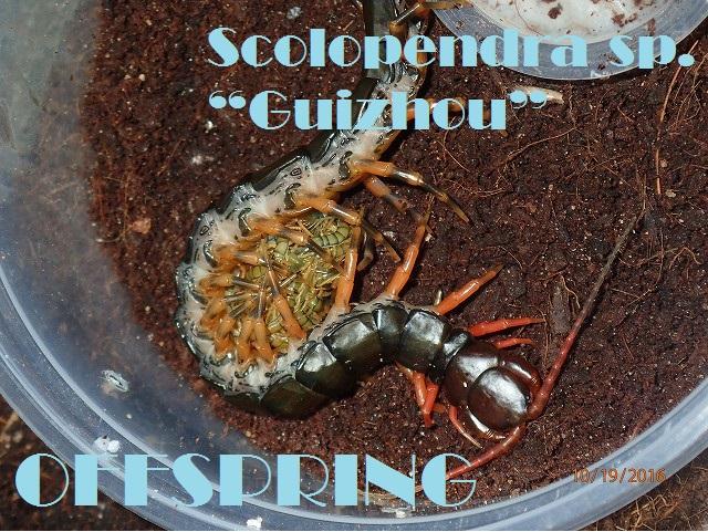 "Scolopendra sp. ""Guizhou""20161002"